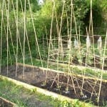 How to Grow Snap Peas