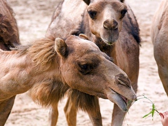 Camels in Islam